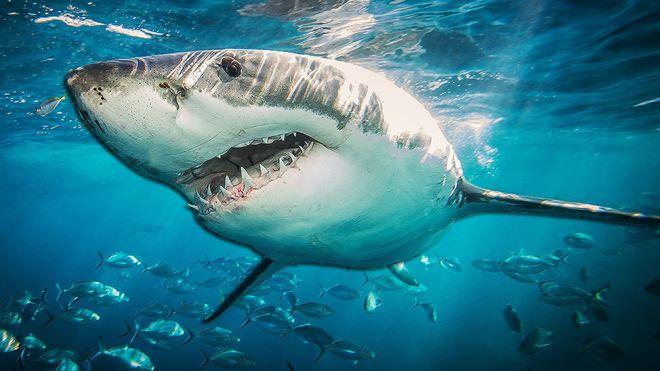 _105702604_shark976.